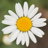 Decorative chamomile Royalty Free Stock Images