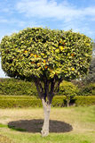 Decorative citrus tree in an orange grove Royalty Free Stock Photos