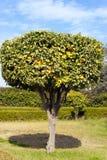 Decorative citrus tree in an orange grove Royalty Free Stock Photos