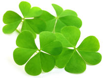 Decorative clover leaves. Over white background stock images