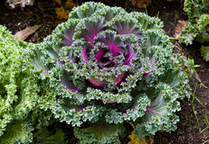 Decorative coloured cabbage Stock Photo