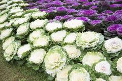 Decorative coloured cabbage in garden Royalty Free Stock Photos