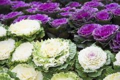 Decorative coloured cabbage in garden Stock Photo