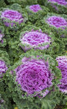Decorative coloured cabbage in garden Stock Photography
