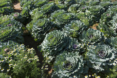 Decorative coloured cabbage in garden Stock Images