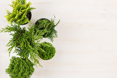 Decorative composition of border green conifer plants in pots top view on white wooden board background. Stock Image