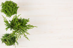 Decorative composition of border green conifer plants in pots top view on white wooden board background. Blank copy space. Royalty Free Stock Image