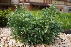 Decorative coniferous shrub with short green needles Royalty Free Stock Image