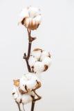 Decorative cotton Royalty Free Stock Photos