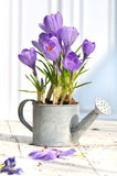 Decorative crocus on terrace Stock Photography