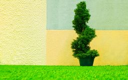 Decorative cypress tree spiraled in a bucket against the backdrop of a painted wall. In soft colors royalty free stock photo