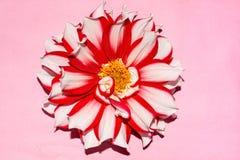 Decorative dahlia checkers flower