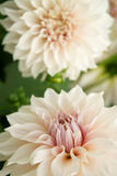 Decorative Dahlia named Milk Coffee. Decorative Dahlia blossoms named Café au Lait or Milk Coffee. Close-up on the center of a bloom. Colors pink, peach and Royalty Free Stock Photos