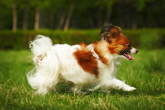Decorative dog Papillon summer running stock photography