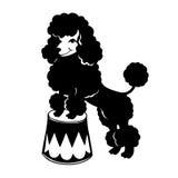 Decorative dog Poodle Royalty Free Stock Photo