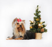 Decorative dog Yorkshire Terrier, Christmas Royalty Free Stock Photos