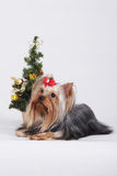 Decorative dog Yorkshire Terrier, Christmas Stock Image