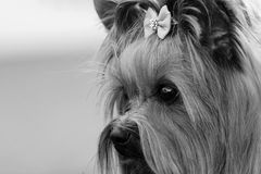 Decorative dog Yorkshire Terrier face closeup sad look Royalty Free Stock Image
