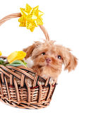 Doggie in a basket. Royalty Free Stock Photo