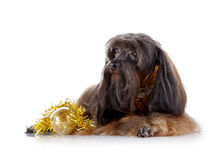 Decorative doggie with a New Years toy. Stock Photos