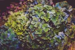 Dried hortensia flower background. Decorative  dried blue hydrangea flower background Stock Images