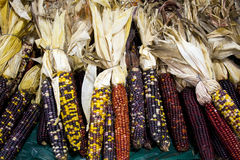 Decorative dried corn Stock Image