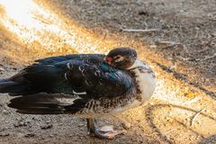 Decorative duck with bright colorful plumage royalty free stock image