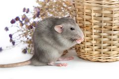 Decorative dumbo rat next to chrysanthemum flowers on a white isolated background. Gray mouse, pet. Decorative dumbo rat next to chrysanthemum flowers on a white stock image