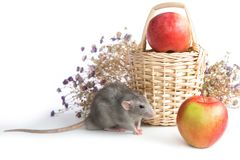 Decorative dumbo rat next to chrysanthemum flowers on a white isolated background. Gray mouse, pet. Decorative dumbo rat next to chrysanthemum flowers on a white stock photos