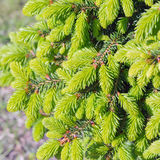 Decorative dwarf tree larch Nidiformis ( lat. Picea abies Nid. Iformis). Branches from spring growth of needles closeup stock images
