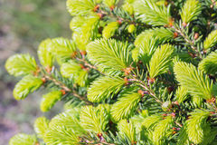 Decorative dwarf tree larch Nidiformis ( lat. Picea abies Nid Stock Image