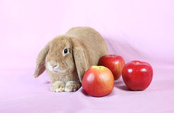 Decorative dwarfish rabbit Stock Images