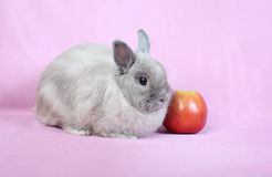 Decorative dwarfish rabbit Royalty Free Stock Photography