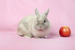 Decorative dwarfish rabbit Stock Photos