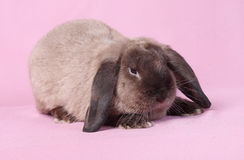 Decorative dwarfish rabbit Royalty Free Stock Image
