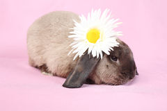 Decorative dwarfish rabbit Stock Photos