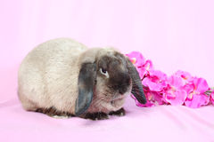 Decorative dwarfish rabbit Royalty Free Stock Images