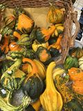 Autumn abundance of pumpkin. Decorative and edible pumpkin in the Italian market Royalty Free Stock Images