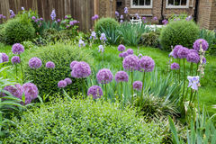 Decorative english garden with Giant Allium. Flowers and boxtree Stock Photography