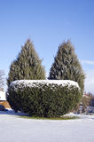 Decorative evergreen tree bush in winter park Stock Photos