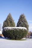 Decorative evergreen tree bush in winter park Stock Photos
