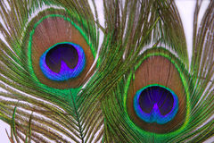 Decorative feather of a peacock. On a white background Royalty Free Stock Photos
