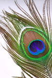Decorative feather of a peacock. On a white background Stock Photos