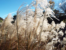 Decorative feathery grass blowing in wind under a blue summer sky Stock Photo
