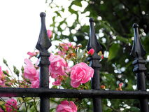 Decorative Fence With Pink Roses Stock Photography