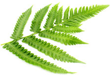 Decorative Fern Royalty Free Stock Photos