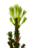 Decorative fir-tree. A small decorative fir-tree in a pot with green shoots Royalty Free Stock Photos