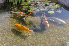 Decorative fish in pond Royalty Free Stock Photo