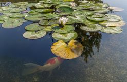 Decorative fish in pond Stock Image