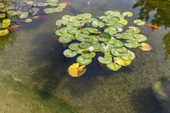 Decorative fish in pond royalty free stock photos
